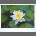 Photocard-waterlily-01