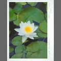Photocard-waterlily-02